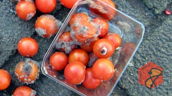 تولید برق از پسماند گوجهفرنگی